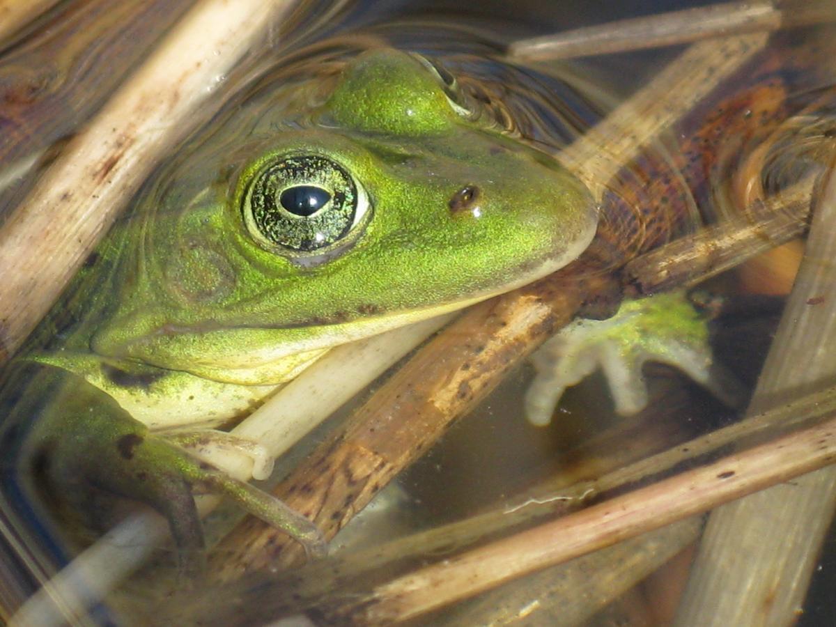 Groene kikker in waterpoel