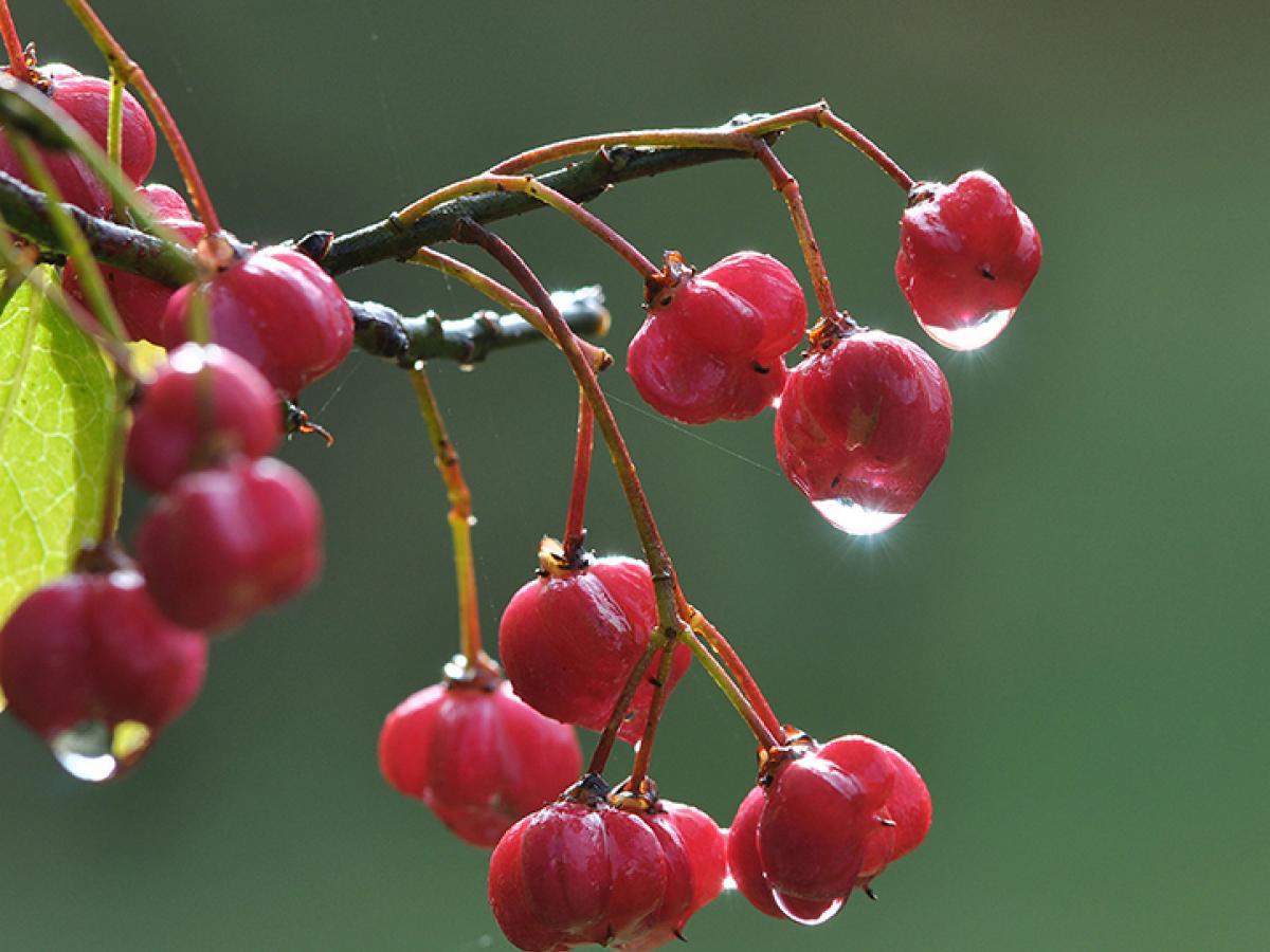 Kardinaalsmuts vruchten aan de tak