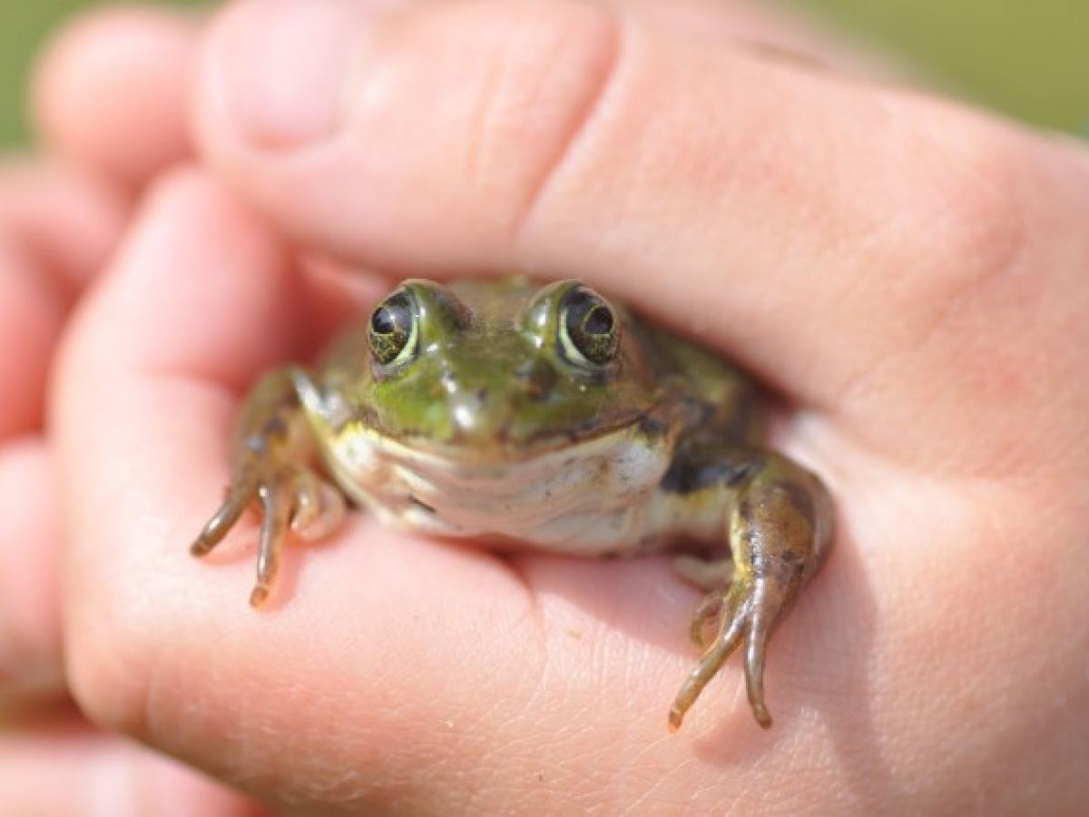 kikker in hand