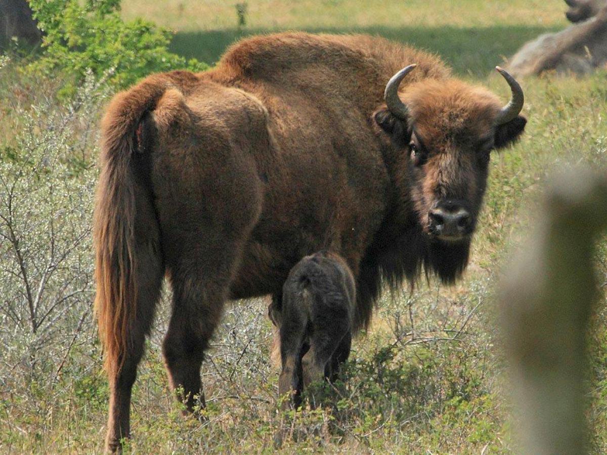 Wisent met kalf in het Kraansvlak Nationaal Park Zuid-Kennemerland