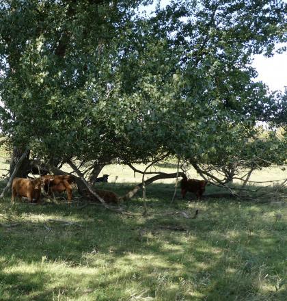 Groepje Schotse hooglanders rust uit in de schaduw van bomen
