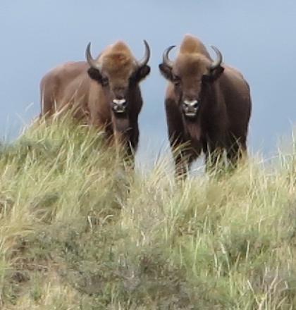 Wisenten in Kraansvlak, Nationaal Park Zuid-Kennemerland