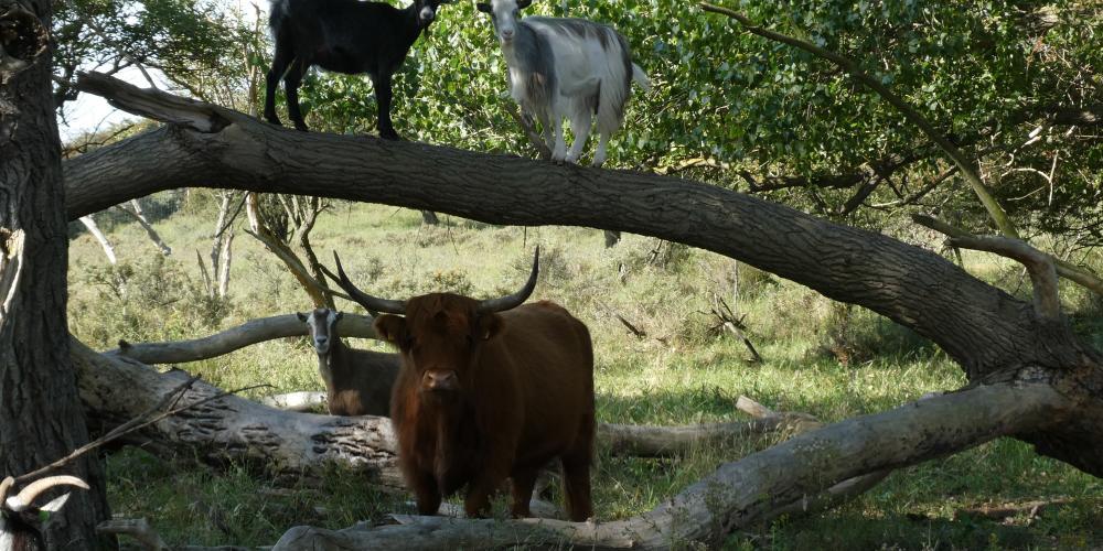 Natuurfoto. Geit is in een boom geklommen en een hooglander staat onder de boom.