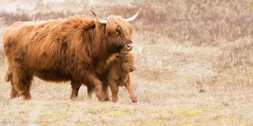 Schotse hooglander met jong, foto gemaakt door boswachter Fred